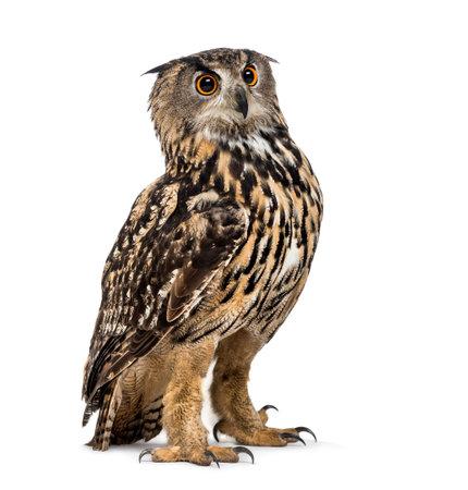Eurasian Eagle-owl, Bubo bubo, est une espèce de hibou grand-duc debout sur fond blanc