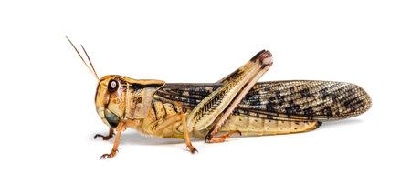 Migratory locust, Locusta migratoria, in front of white background