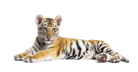 Two months old tiger cub lying against white background Stock Photo