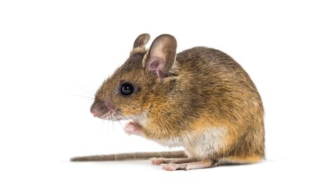 Eurasian mouse, Apodemus species, sitting in front of white background Foto de archivo