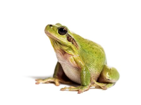 Mediterranean tree frog or stripeless tree frog, Hyla meridionalis, in front of white background