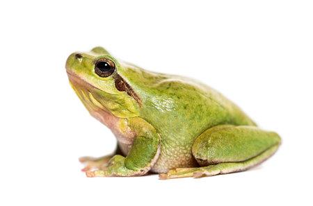 Mediterranean tree frog or stripeless tree frog, Hyla meridionalis, in front of white background Stockfoto