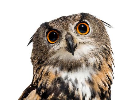 Eurasian Eagle-owl, Bubo bubo, est une espèce de hibou grand-duc sur fond blanc
