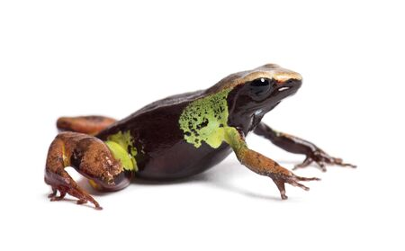 Beautiful mantella, Mantella pulchra, in front of white background Stock Photo