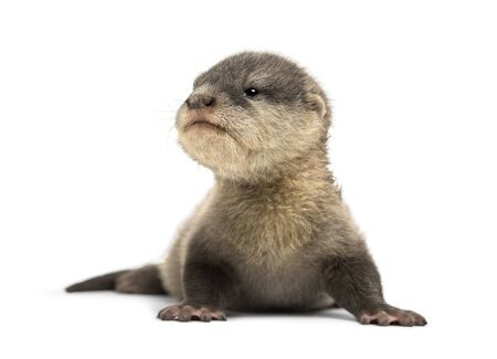 Baby Asian small-clawed otter, Amblonyx cinerea, also known as the oriental small-clawed otter or simply small-clawed otter lying against white background Standard-Bild