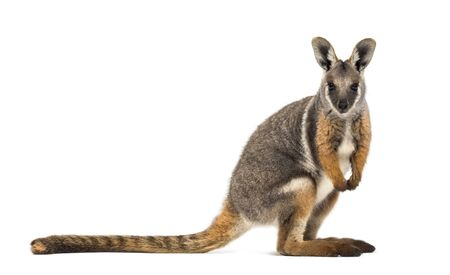 Yellow-footed rock-wallaby, Petrogale xanthopus, kangaroo, wallaby standing against white background Foto de archivo