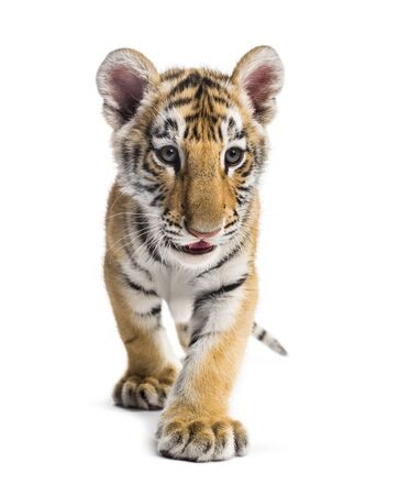 Two months old tiger cub walking against white background 免版税图像