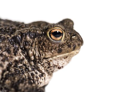 Common toad, European toad, or simply the toad, Bufo bufo, in front of white background Stockfoto