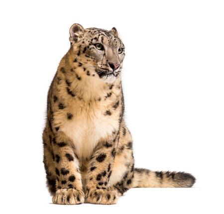 Schneeleopard, Panthera uncia, auch bekannt als die Unze, die vor weißem Hintergrund sitzt