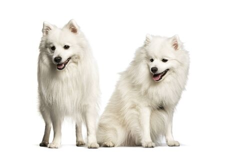 Japanese Spitz sitting against white background