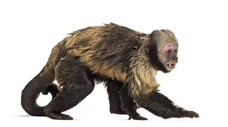 Golden-Bellied Capuchin, Sapajus xanthosternos, also known as the yellow-breasted or buffy-headed capuchin walking against white background Foto de archivo