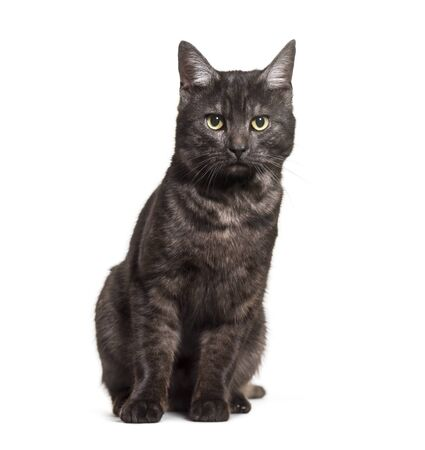 Mixed-breed domestic cat sitting against white background