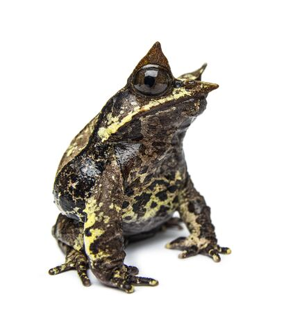 Side view of a Long-nosed horned frog looking at the camera, Megophrys nasuta, isolated Stock Photo