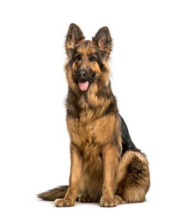 Vieux chien de berger allemand assis contre fond blanc Banque d'images