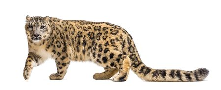 Snow leopard, Panthera uncia, also known as the ounce walking against white background Stock Photo