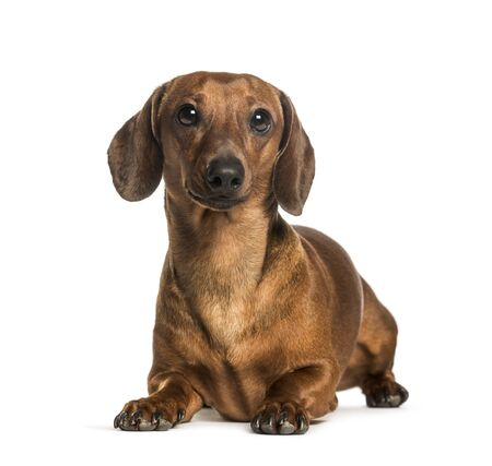 Dachshund lying against white background Banque d'images