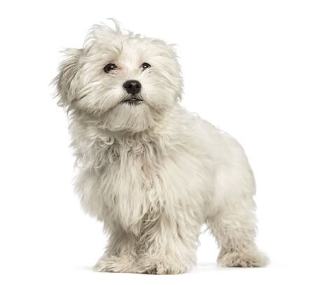 Maltese puppy, 4 months, standing against white background