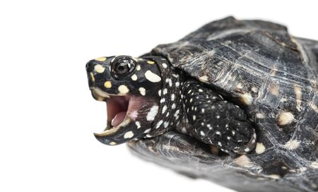 Close-up of a Black pond turtle mounth open, Geoclemys hamiltonii, isolated