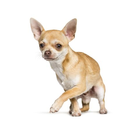 Chihuahua standing against white background Stock Photo