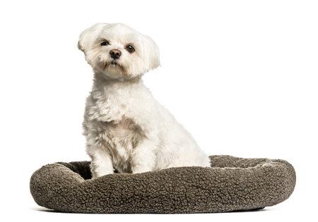 Maltese sitting in dog bed against white background