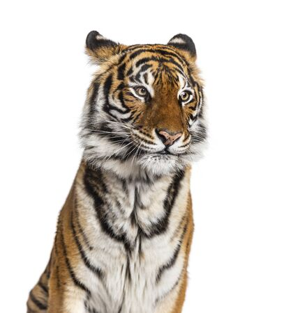 Portrait of a male tiger's head, big cat, isolated on white 免版税图像