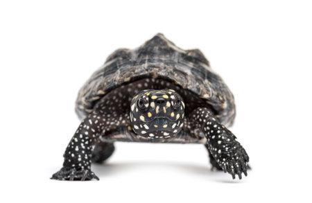 Black pond turtle, Geoclemys hamiltonii, isolated
