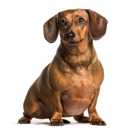 Fat dachshund sitting against white background
