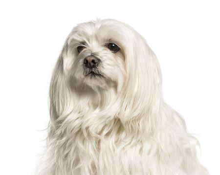 Close-up of a maltese against white background Stock Photo