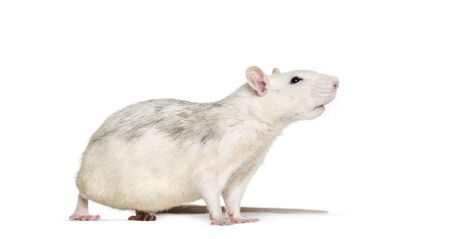 Domestic rat against white background