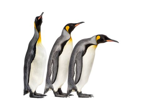 King penguins walking in a row, isolated