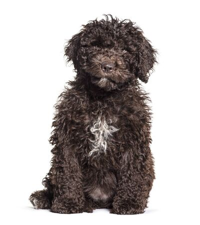 Brown sitting Spanish Water Dog, isolated on white