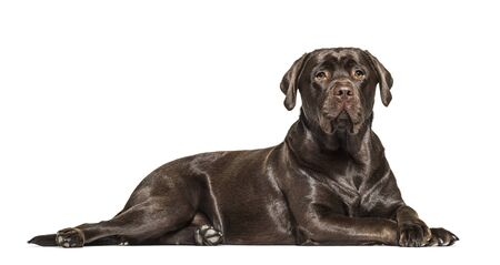 SIde view of a lying down Chocolate Labrador, isolated on white