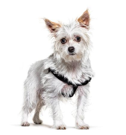 Crossbreed dog wearing an harness