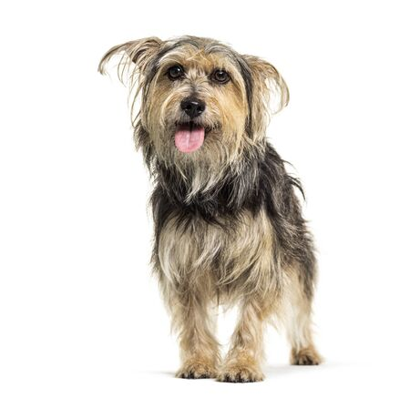 Panting Crossebreed dog, Yorkshire and Griffon, isolated on white