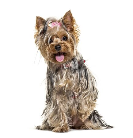Panting, sitting, yorkshire terrier dog, isolated on white