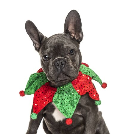 Headshot of a French Bulldog wearing a joker collar, isolated on white