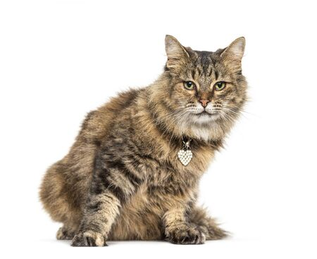 Crossbreed cat wearing a cat collar, isolated on white Stock Photo