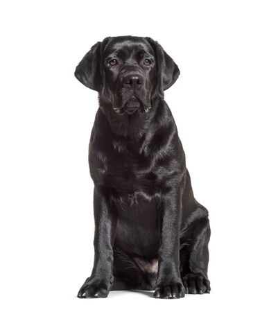 Black labrador retriever sitting, isolated on white