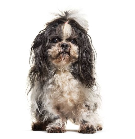 Dirty Shih Tzu, isolated on white