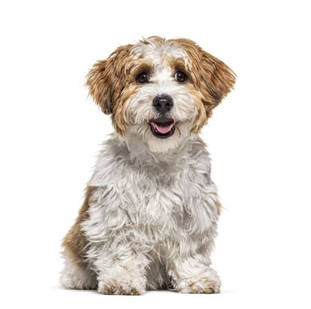 Sitting Puppy Havanese dog panting, 5 months old, isolated on white Reklamní fotografie