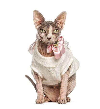 Sphynx cat dressed-up pink, isolated on white Stockfoto