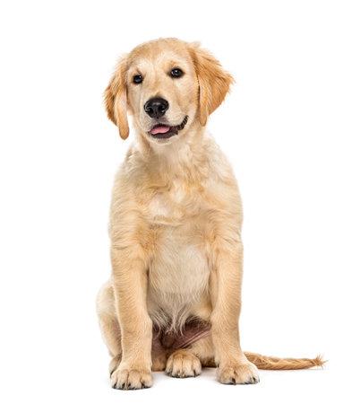 Puppy golden retriever 3 maanden oud, geïsoleerd op wit Stockfoto