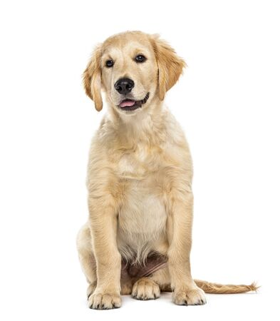 Puppy golden retriever 3 months old, isolated on white Banque d'images