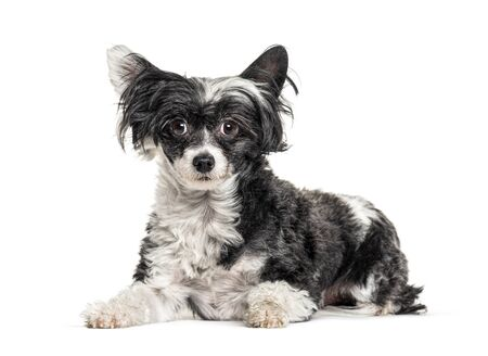mixedbreed dog with a Chinese Crested Dog, isolated on white