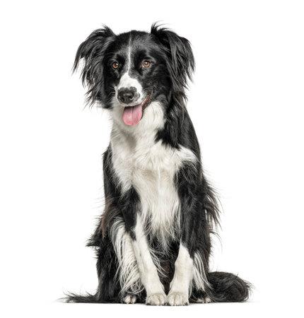Heureux chien croisé noir et blanc haletant, isolé sur blanc