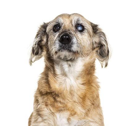 One-eyed blind, Crossbreed dog, isolated on white