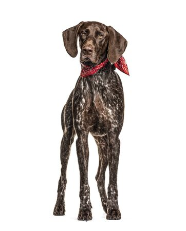 German Shorthaired Pointer, isolated on white