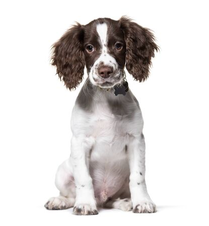 Young English Springer Spaniel, isolated on white