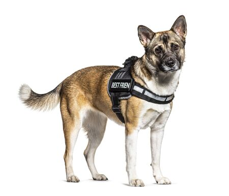Crossbreed dog with akita and german shepherd wearing a harness, isolated on white