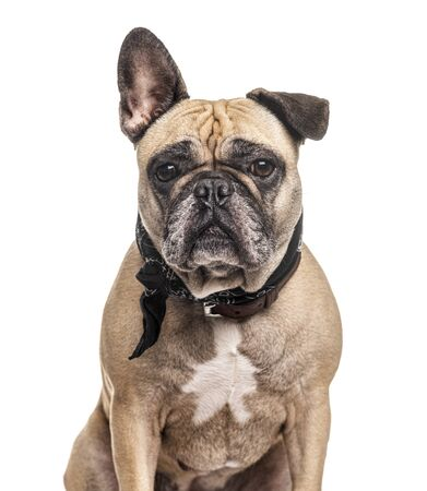 French Bulldog wearing a scarf, isolated on white